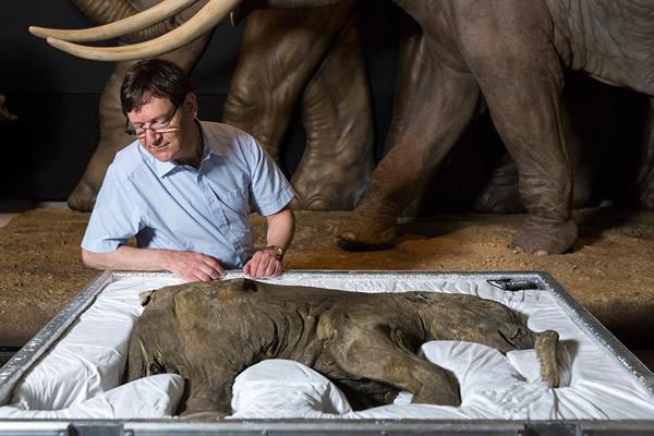 这次展览是猛犸象宝宝首次在西欧展出,展览还包括真实大小的逼真模型和猛犸象骨骼。真正的猛犸象獠牙和牙齿也将同时展出。