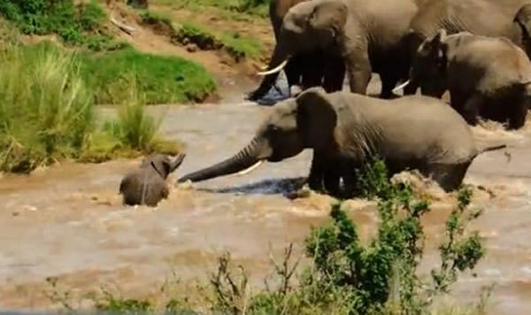 小象险被大水冲走 大象妈妈挺鼻子相救