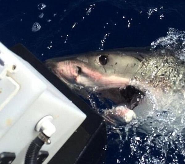 大白鲨不停撞击船身