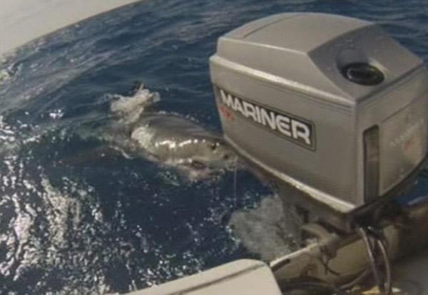 大白鲨不停在船边打转,不肯离去。