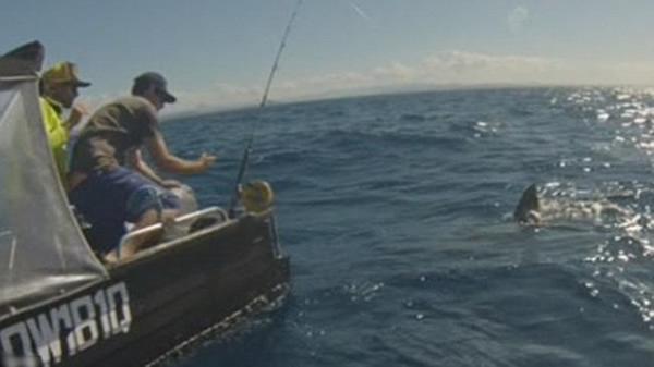 渔民吊下罐头喂大白鲨