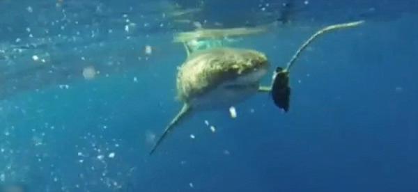4人大胆伸手入水,拍下喂大白鲨的情形。
