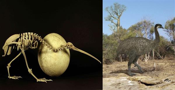 新西兰奇异鸟与于1千年前生活在非洲的巨型象鸟有近亲关系