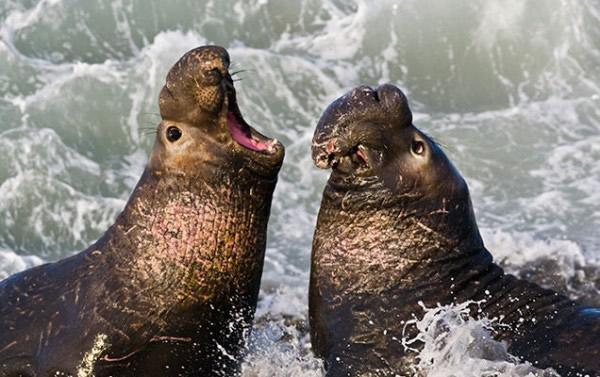 新研究发现北方象海豹血液中一氧化碳浓度很高