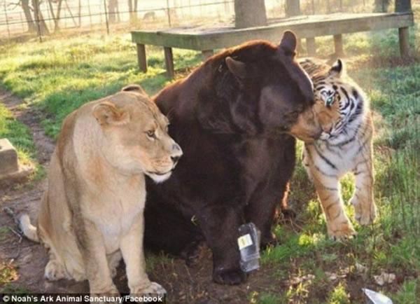 三只顶级猎食者老虎、狮子和熊成了好友