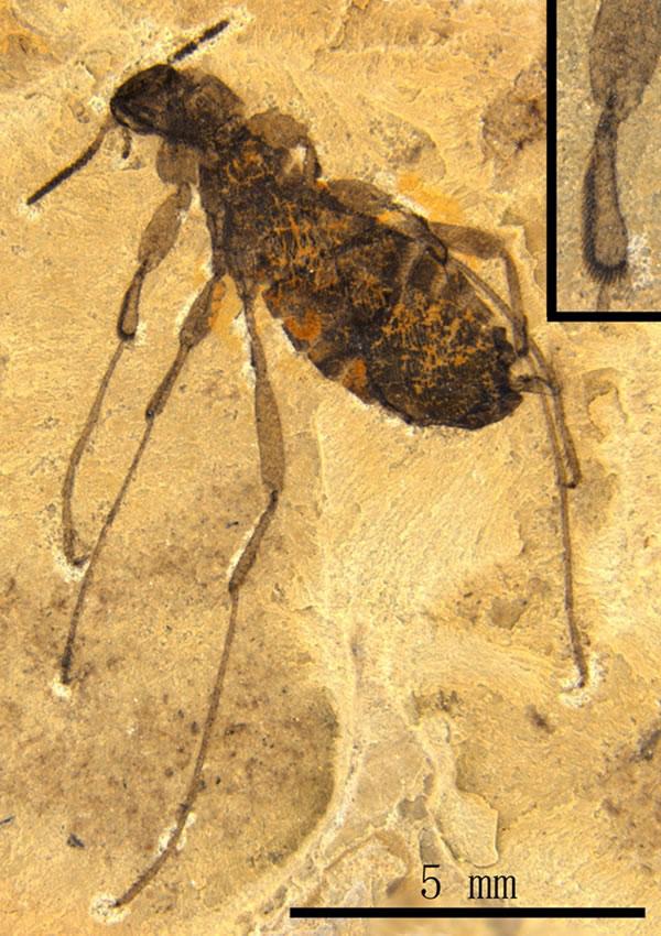 世界上最大的跳蚤化石生活在距今1.65亿年前