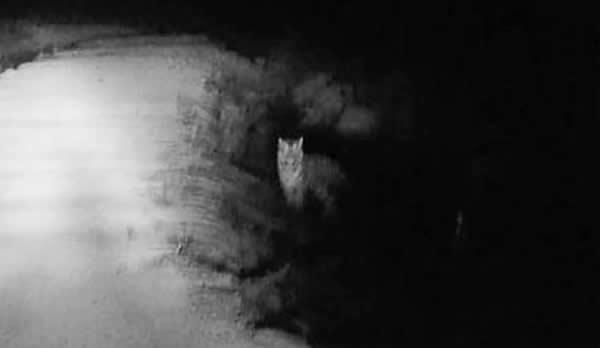 吉林/吉林解放军发现野生东北虎 并与老虎对视1分钟