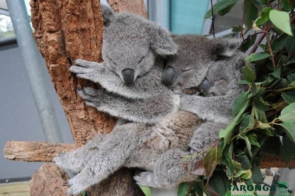 澳洲动物园3只小无尾熊在一棵尤加利树上排排坐
