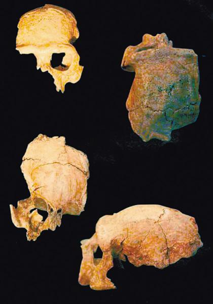 南京直立人头骨化石
