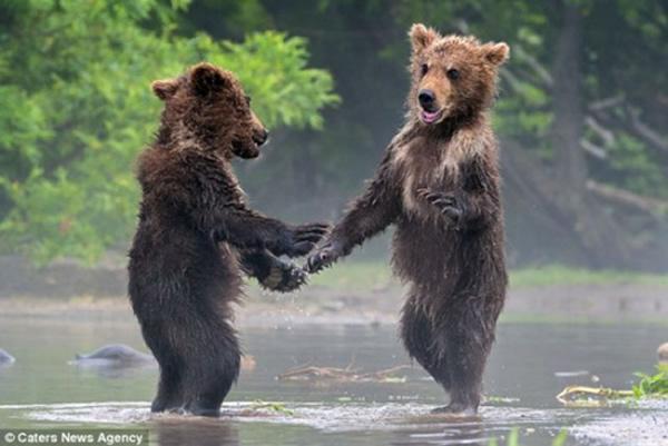 """俄罗斯远东一处自然保护区两小棕熊见面""""握手"""" 一同捕鱼"""