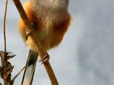"""江苏沛县发现鸟类中的活化石""""震旦鸦雀"""""""