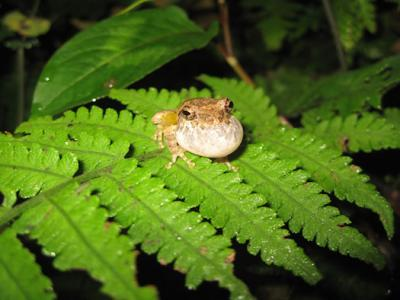Frog Uses Drainpipe to Amp Up Mating Calls