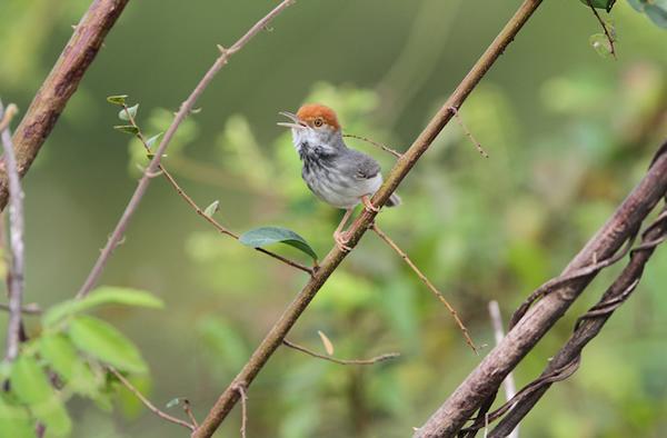 The Cambodian tailorbird,Orthotomus chaktomuk.James Eaton/Birdtour Asia