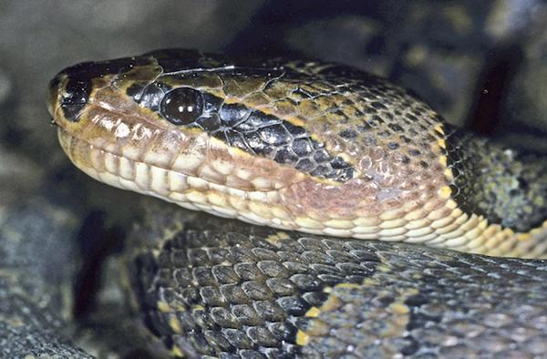 The Zorro-masked water snake,Homalopsis mereljcoxi.John C. Murphy