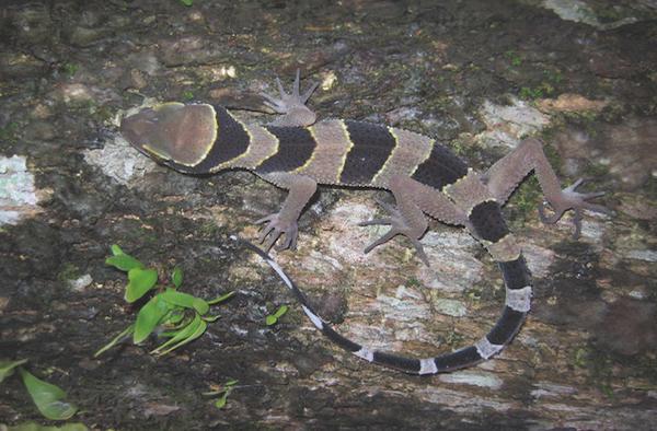 A zebra-striped gecko,Cyrtodactylus phuketensis.Montri Sumontha