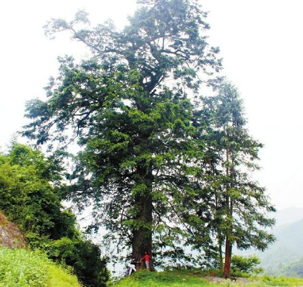 四川达州万源市长石乡发现2000年古枞树 传说三国时张飞曾在这拴战马