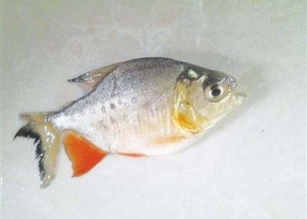 """湖南株州渔民在湘江捕捞到疑似""""食人鱼"""" 专家称白鲳鱼"""
