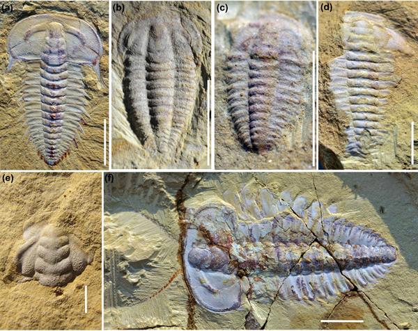 三叶虫化石代表