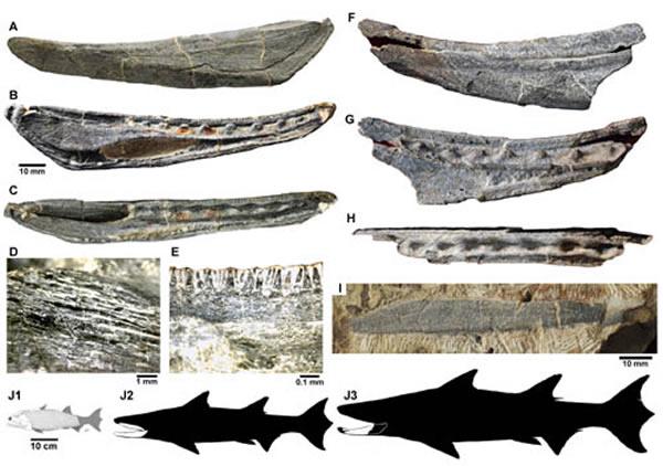 钝齿宏颌鱼(Megamastax amblyodus)化石标本(Brian Choo供图)