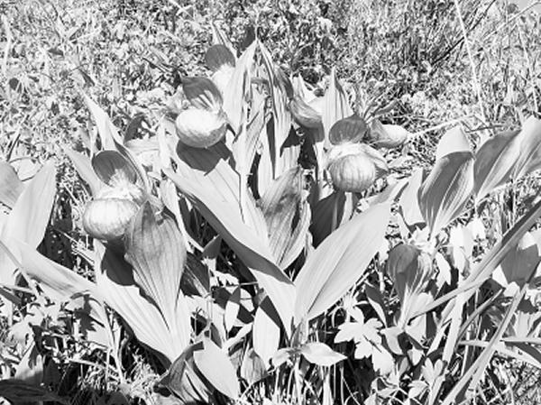 河北承德丰宁云雾山中发现国家一级保护植物大花杓兰