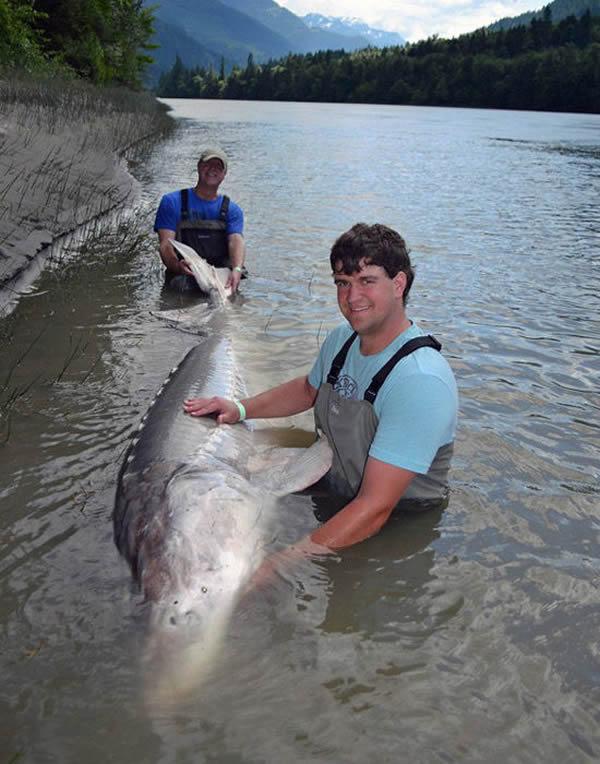 美国一对父子在河中捕获800斤大白鲟鱼后放归自然
