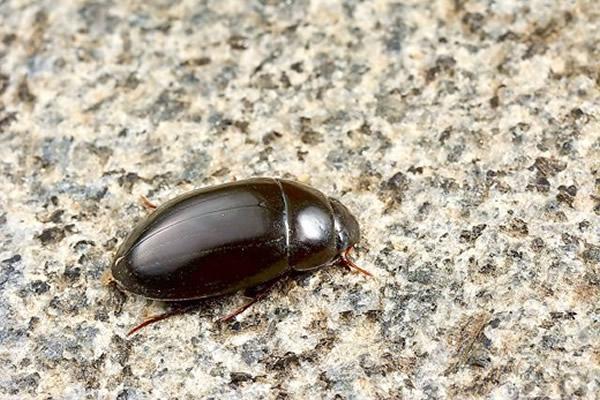 """台湾金门植物园发现新品种昆虫""""短突姬牙虫"""""""