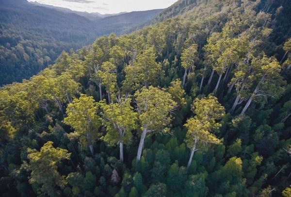 澳洲政府为当地伐木业,申请将塔斯马尼亚荒原部分森林剔出世遗名录。