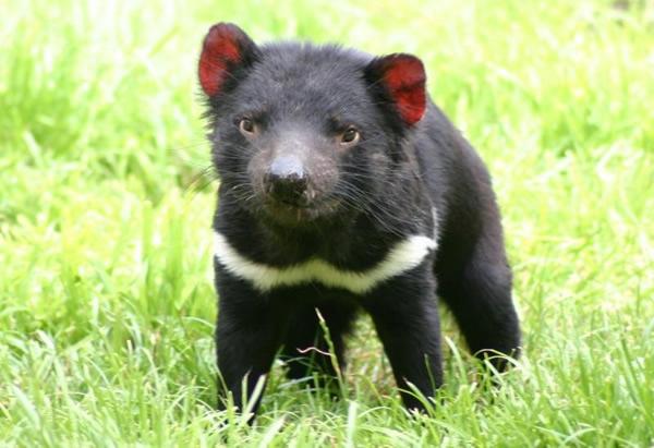 """有""""塔斯马尼亚恶魔""""之称的袋獾,是当地的特有物种之一。"""