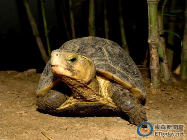 食蛇龟为陆栖性淡水龟