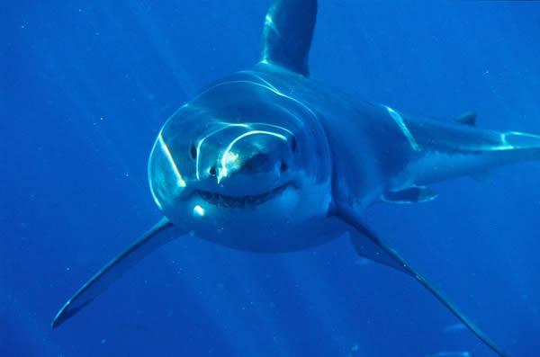 一条大白鲨在澳洲外海巡游
