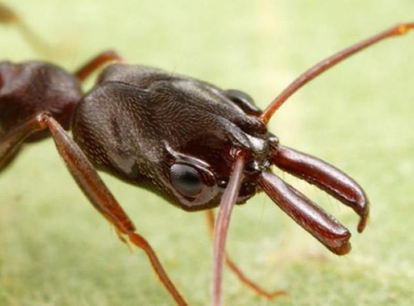 新物种锯针蚁属蚂蚁侵袭美国