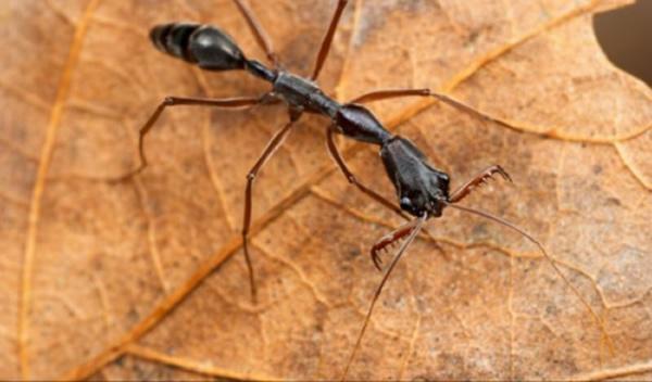 这种蚂蚁口器可打开到近乎180度,形似捕兽夹