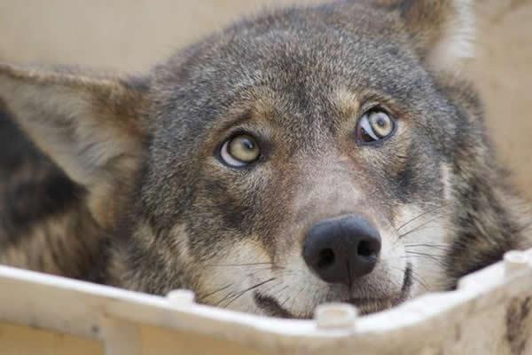 """最新研究显示,灰狼擅长用凝视与同伴进行""""无声的交流""""。"""
