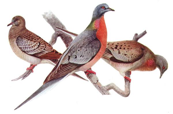 北美洲旅鸽