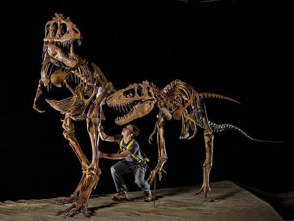 犹他州自然史博物馆里,杰佛瑞.李奥纳德为一只成年及一只幼年的怪猎龙(Teratophoneus)撢去身上的灰尘。它们和体型稍大的亲戚霸王龙(Tyrannosau