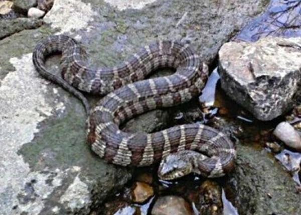 美国芝加哥西郊的小城内珀维尔近日出现大量蛇类
