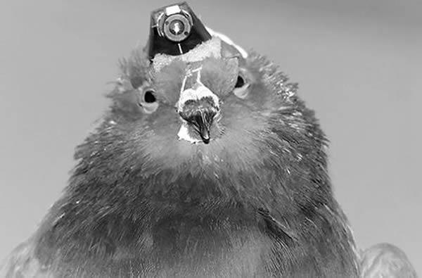 研究发现鸽子似乎是以一种被动的反应避开障碍物