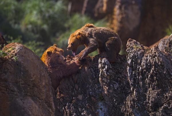 西班牙国家公园一只母棕熊冲着一只公熊怒吼