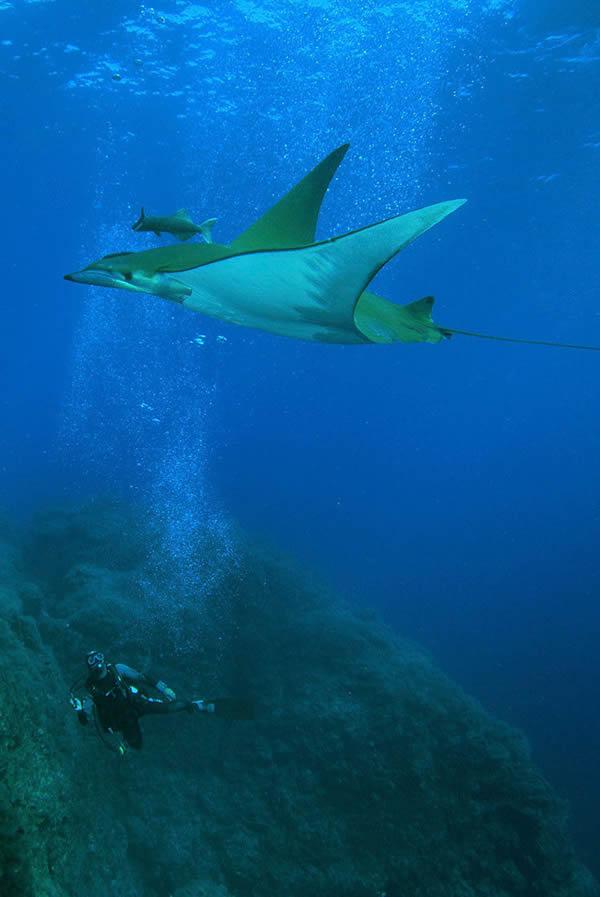 智利魔鬼鱼实际上能够潜入极深的海水之中
