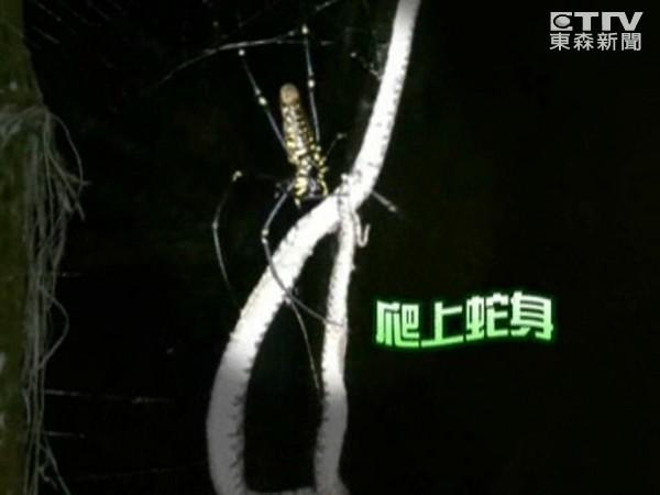 台湾人面蜘蛛吃蛇