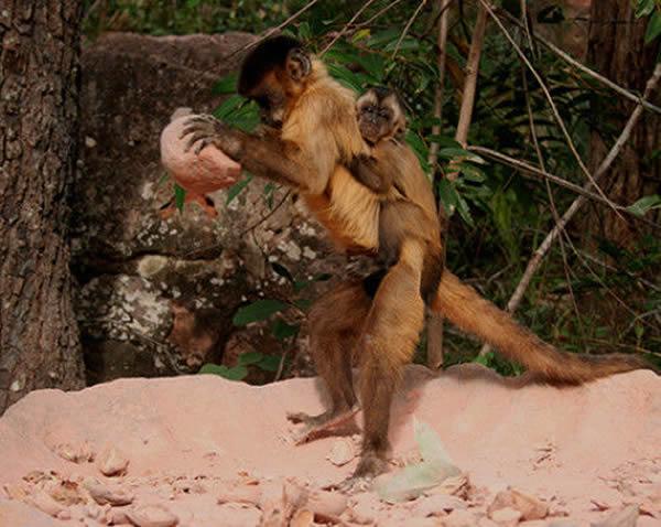 成年雌性僧帽猴利用石器工具和砂岩砧骨撬开棕榈坚果