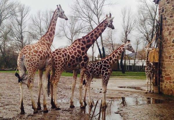 长颈鹿支撑体重的细腿上并没有太多的腿部肌肉
