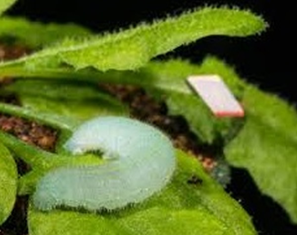 美国科学家录下毛虫啃咬植物叶子的声音作研究,发现植物可能有听觉。