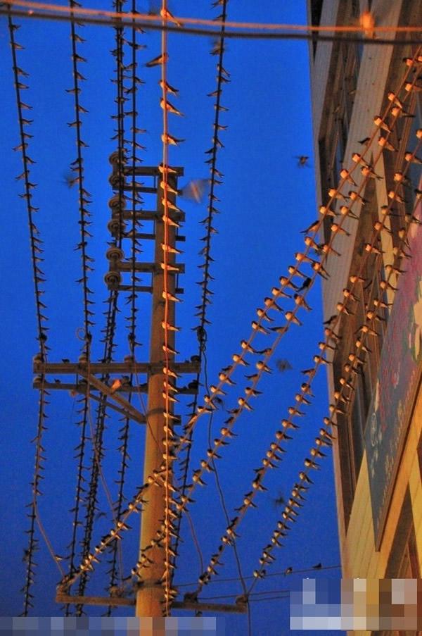 百多米长的电线布满燕子