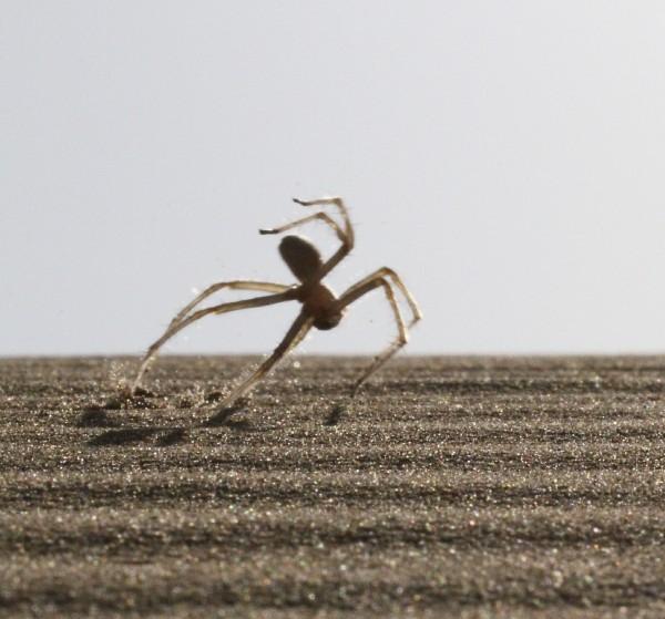 移动中的后翻蜘蛛(Cebrennus rechenbergi)。摄影:Ingo Rechenberg