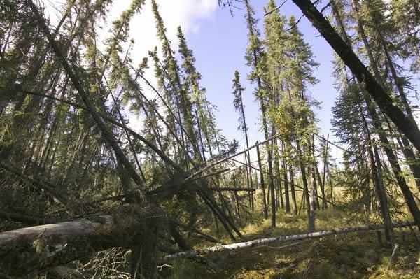 全球暖化导致美国阿拉斯加森林里的树都不再直直地往上长