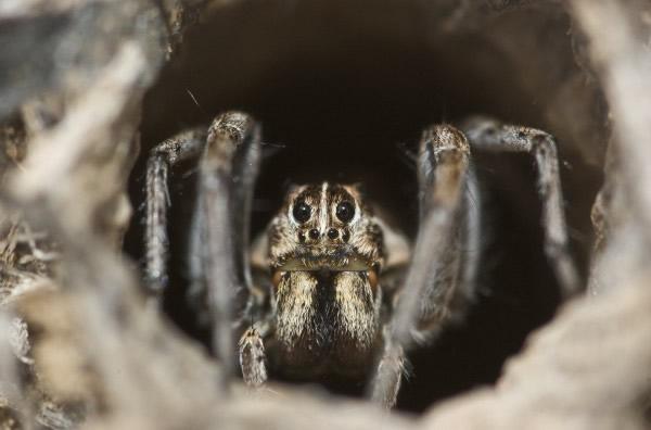 攻击性强的雌穴栖狼蛛还没开始交配就会先吃掉雄蛛