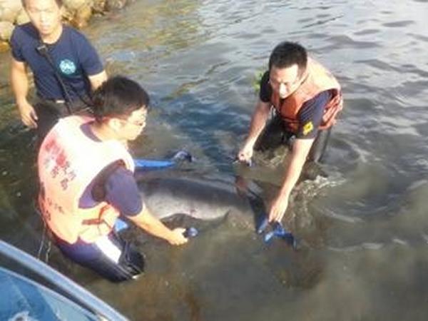 救护人员正在努力想办法将受伤的海豚运上船