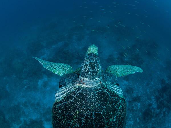 欧罗帕岛一只母绿蠵龟被它的伴侣紧拥在怀,漂游在欧罗帕环礁的湛蓝海域。这里是濒危的绿蠵龟重要的繁殖区。 Photograph by Thomas P. Pesch