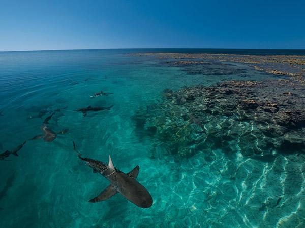 印度礁加拉巴哥鲨虽然得名自达尔文观察生物演化的加拉巴哥群岛,但其实它们出现在世界各地的热带海洋礁石带。在印度礁的泻湖保护区里出没的鲨鱼几乎全是加拉巴哥鲨;生物学